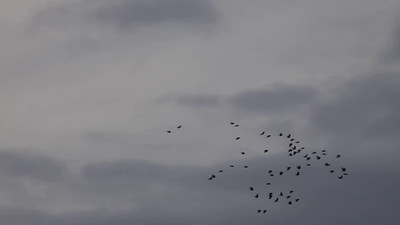 Jackdaws flying