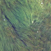 Seaweed billowing in the surge.