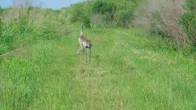 Florida Sandhill Cranes calling
