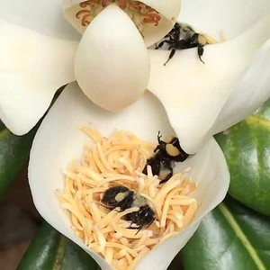 Bumblebees in Magnolia Blossom