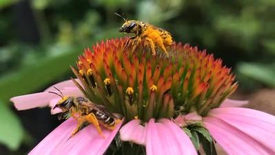 Mason Bees on Echinaceae