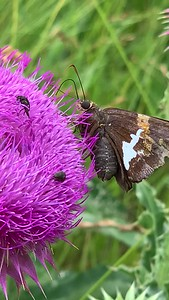 Video Silver spotted skipper butterfly on Musk Thistle flower, Ed Zorinsky lake park Omaha Nebraska USA