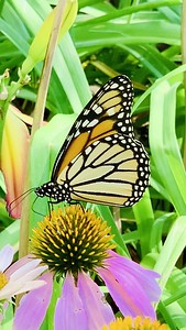 Video, Monarch butterfly, Danaus plexippus on echinacea, coneflower,  Omaha Nebraska USA