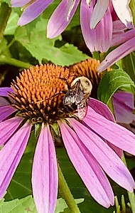 Video Bumblebee on coneflower, echinacea summer Omaha Nebraska Omaha