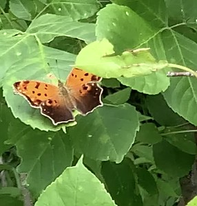Video Polygonia comma, the eastern comma , at Ed Zorinsky Lake Park Omaha Nebraska USA