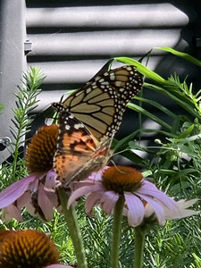 Video, Monarch butterfly, Danaus plexippus and painted lady butterfly  on echinacea, coneflower,  Omaha Nebraska USA