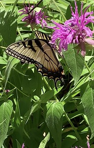 Video of Eastern Tiger swallowtail butterfly Omaha Nebraska USA