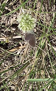 Video, Eastern tailed blue, butterfly, Ed Zorinsky lake park, Omaha, Nebraska, USA.