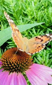 Video, painted lady butterfly, vanessa cardui butterfly on echinacea, coneflower,  Omaha Nebraska USA