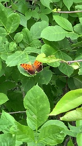 Video Polygonia comma, the eastern comma,  butterfly Ed Zorinsky lake park Omaha Nebraska