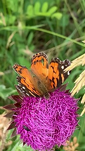 Video Painted lady butterfly, Vanessa cardui on musk thistle flower, Ed Zorinsky lake park, , Omaha Nebraska USA