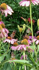 Video, painted lady butterflies, vanessa cardui butterfly on echinacea, coneflower,  Omaha Nebraska USA