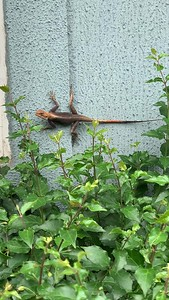 Video of African Agama lizard on a wall Lekki Lagos Nigeria West Africa