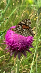 Video Painted lady butterfly, Vanessa cardui on Musk thistle, Ed Zorinsky lake park,, Omaha Nebraska USA