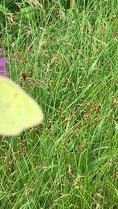 Video Colias eurytheme, the orange sulphur, butterfly, Zorinsky lake park Omaha Nebraska. US