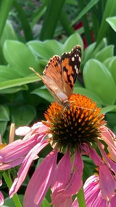 Video, painted lady butterfly, Vanessa cardui,  on echinacea, coneflower,  Omaha Nebraska USA