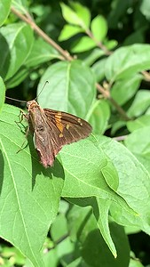Video Silver spotted skipper butterfly Zorinsky lake park Omaha Nebraska USA