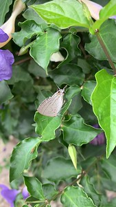 Video of gray hairstreak butterfly Lekki Lagos Nigeria West Africa