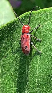 Video Milkweed beetle Ed Zorinsky lake Park Omaha Nebraska US.