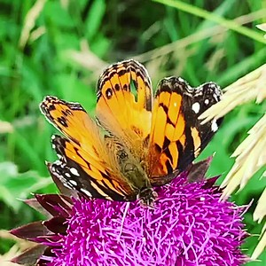 Video Painted lady butterfly, Vanessa cardui on musk thistle, Ed Zorinsky lake park, Omaha Nebraska USA