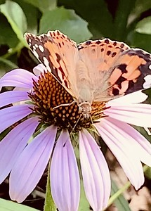 Video, Painted Lady butterfly, Vanessa cardui on coneflower, vanessa cardui Omaha Nebraska USA