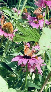 Video, painted lady butterflies on coneflower echinacea Omaha Nebraska USA