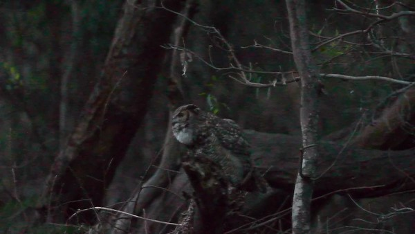 Video of great horned owls under a full moon