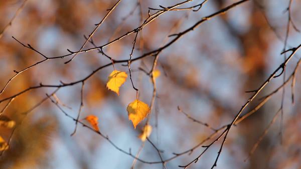 Gul björklöv på hösten -  Birch tree (Betula sp.) in autumn