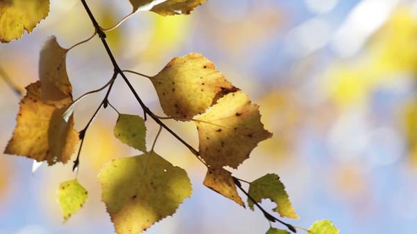 Gul björklöv på hösten -  Birch tree (Betula sp.) in autumn on a sunny day.