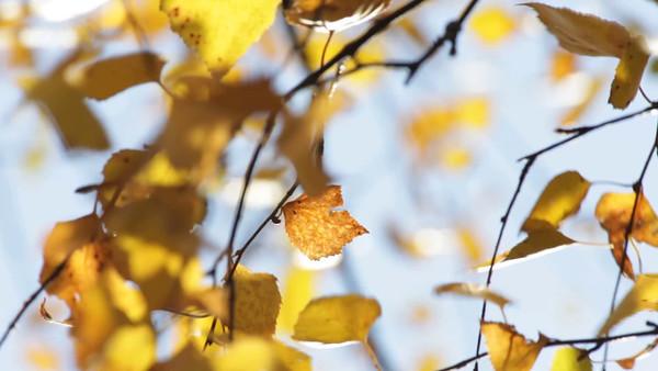 Gul björklöv på hösten -  Birch tree (Betula sp.) in fall on a sunny day.