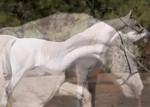 Danseurs Rafiq (small) Stud Promo. Contact Wadi Al Nasmat Arabians for more info. 720-249-6587