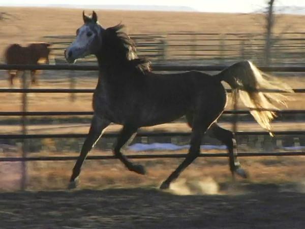 "Heritage Sweets aka ""Nova"" 2006 Half-Arabian NSH Grey Mare. Contact Nichole Piercey 303-808-8595. Footage taken 11-20-11. 45 Days under saddle."