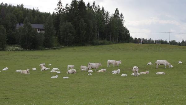 Vita kor på en äng  -  White cows and calves on a green meadow in spring