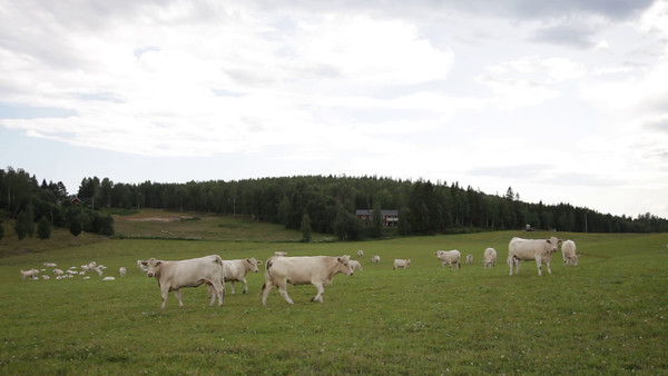 Vita kor på en äng  -  White cows on a meadow in spring
