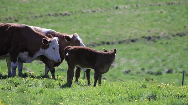 Kor och kalvar på vårängen - Cows and calves walking over a meadow