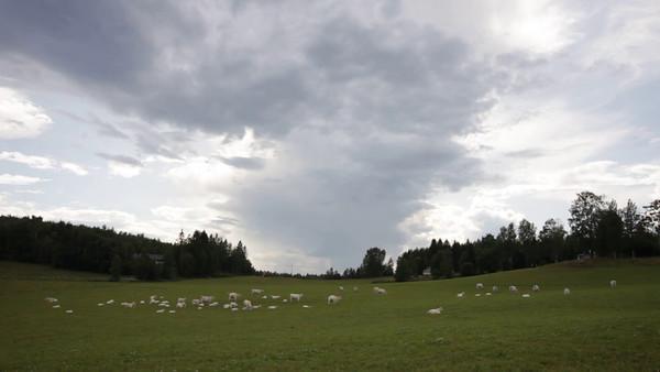 Vita kor på en äng  -  Cows on a meadow on a cloudy day