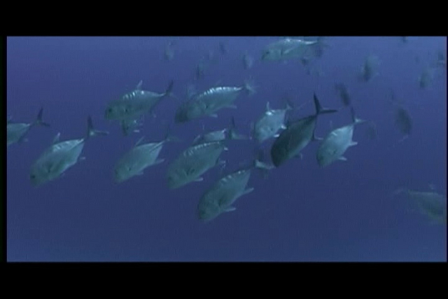 "Large school of giant trevally or ""Ulua"" (H), Caranx ignobilis, off of Kaiwi Point, Kona, Hawaii ( Central Pacific Ocean )"