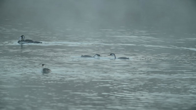 A typical morning of the Grebes at Lake Hodges - October 21, 2017.