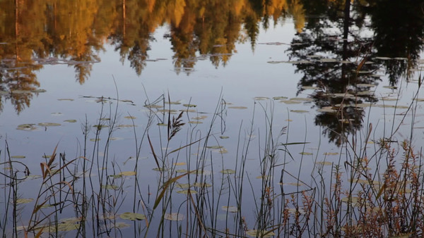 Myckelgensjösjön på hösten -  Lake with rushes and reflected trees