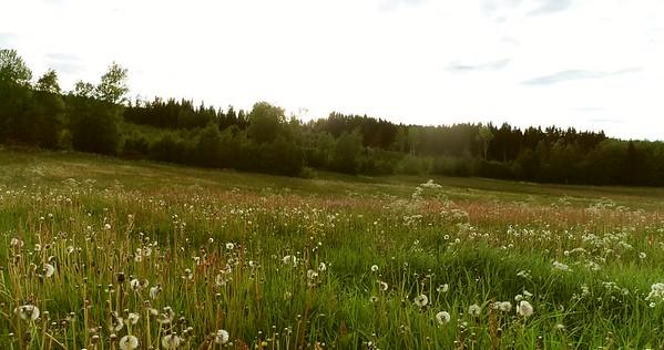 Midsommarlandskap med blomsterängar -  Aerial: flying low over a blooming meadow with dandelion seed heads