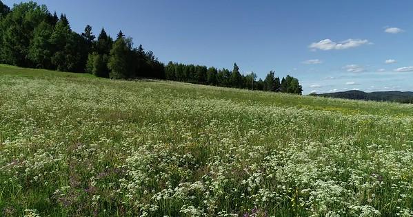 Midsommarlandskap med blomsterängar -  Aerial: slow flight over a flowering meadow under a blue summer sky