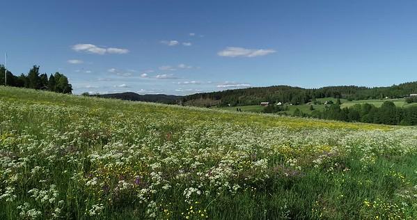 Midsommarlandskap med blomsterängar -  Aerial: pan at low height over flowering meadows and a country lane