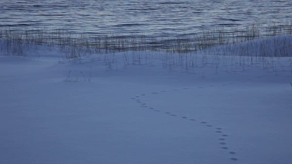 Räv spår i snön - Fox tracks in the snow on a winter beach