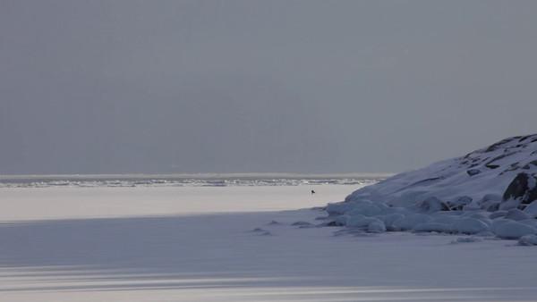 En räv korsar isen i Smitingen -  A red fox crosses a frozen ocean bay in winter