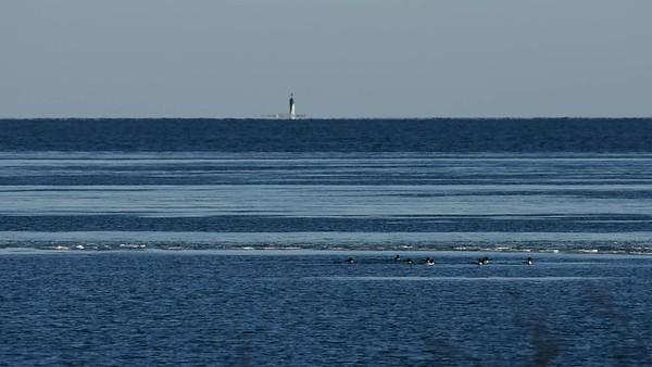 Flyttfåglar på våren i Järnäsklubb - Migratory seabirds in spring
