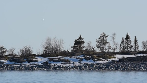 Havsörn i Järnäsklubb - Eagle sitting on a tree on a snow covered rocky island i spring
