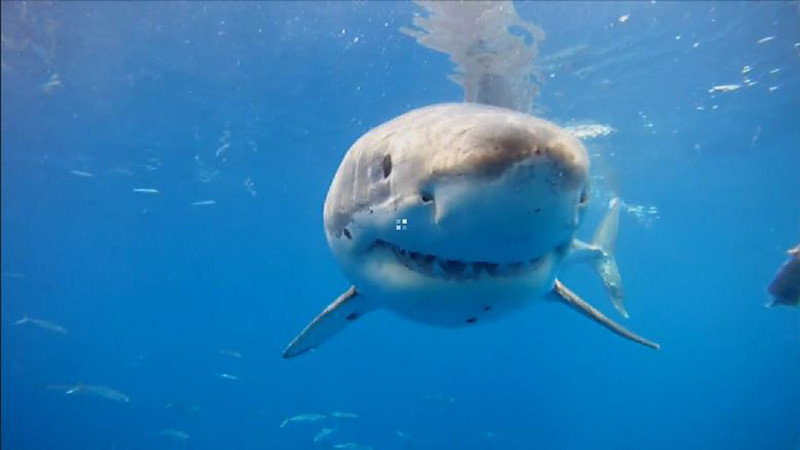 Cal Ripfin, one of the most photographed great white sharks in the world, comes in for his closeup.