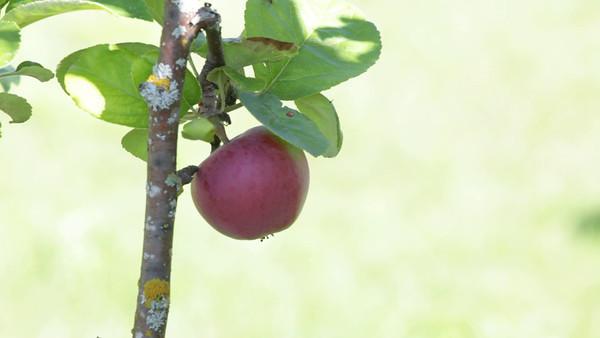Äpple på trädet -  Ripe apple hanging on a tree in summer