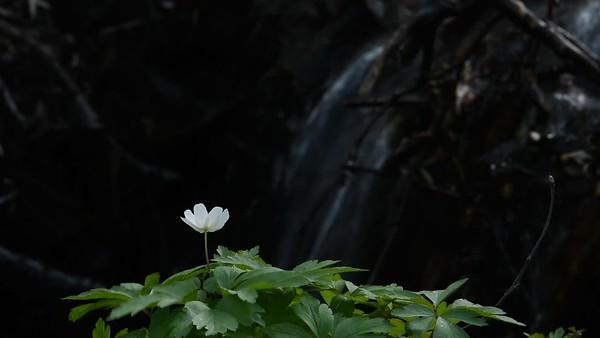 Vitsippor på våren – Wood anemones are blooming in spring