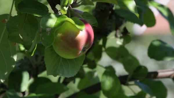 Äpple på trädet -  Ripe apple hanging on a tree.